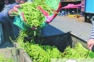 中山市销毁140公斤毒豇豆