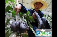 神舟七号搭载蔬菜种子出现有益变异 茄子酷似鸡蛋
